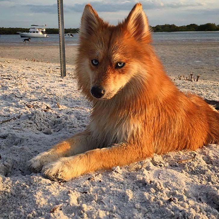 11-photos-of-mya-a-pomeranian-husky-mix-who-is-taking-the-internet-by-storm_1.jpg