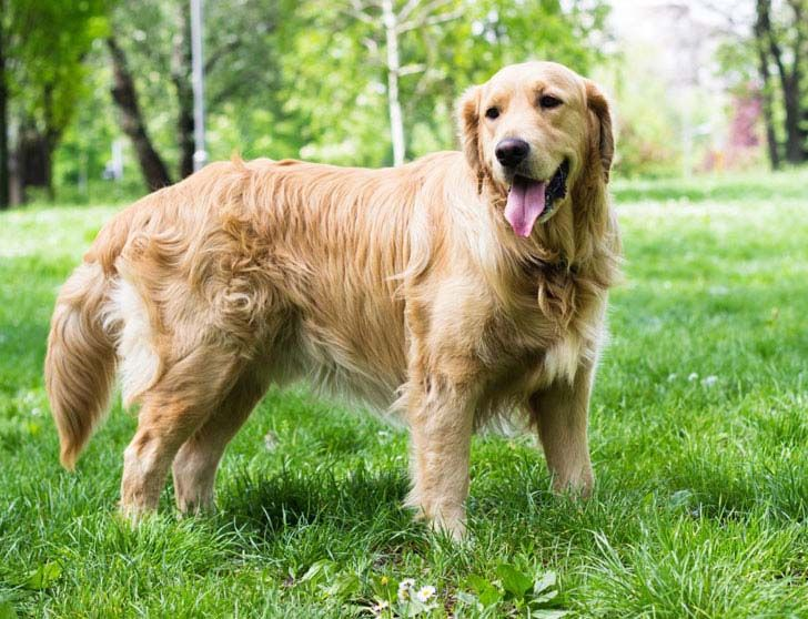 18-most-loyal-dog-breeds_10