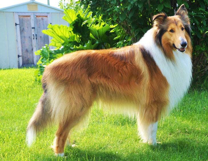 18-most-loyal-dog-breeds_3