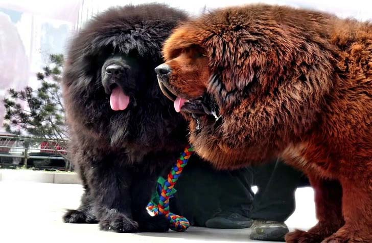 12 Biggest Dog Breeds In The World That You'd Wish You Own - page (13)