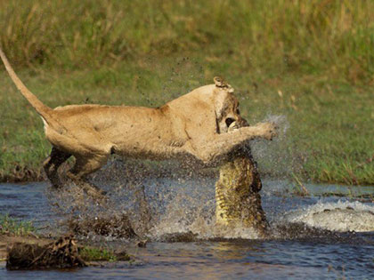 This Fearless Lioness Made The Ultimate Sacrifice For Her Cubs