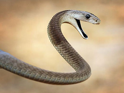 10 Of The World's Deadliest Snakes