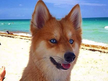 11 Photos Of Mya, A Pomeranian-Husky Mix Who Is Taking The Internet By Storm
