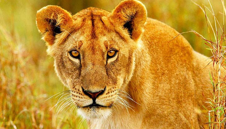 10-dramatic-photo-shows-the-lion-made-fearless-sacrifice-for-her-cubs_1