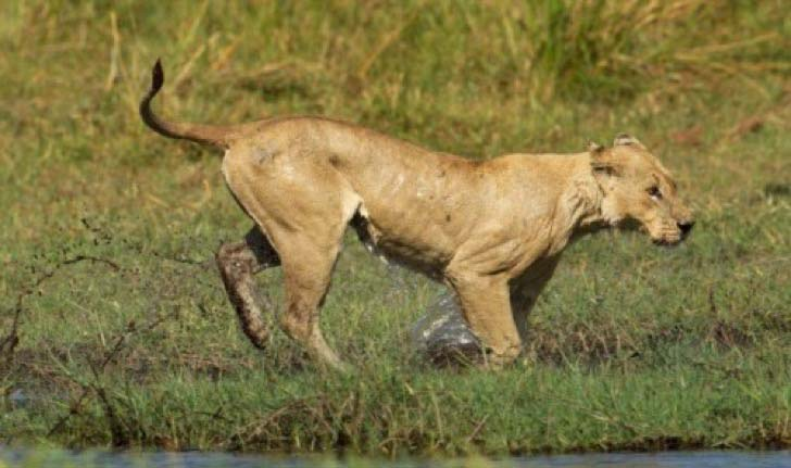 10-dramatic-photo-shows-the-lion-made-fearless-sacrifice-for-her-cubs_10