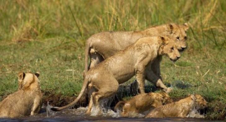 10-dramatic-photo-shows-the-lion-made-fearless-sacrifice-for-her-cubs_11