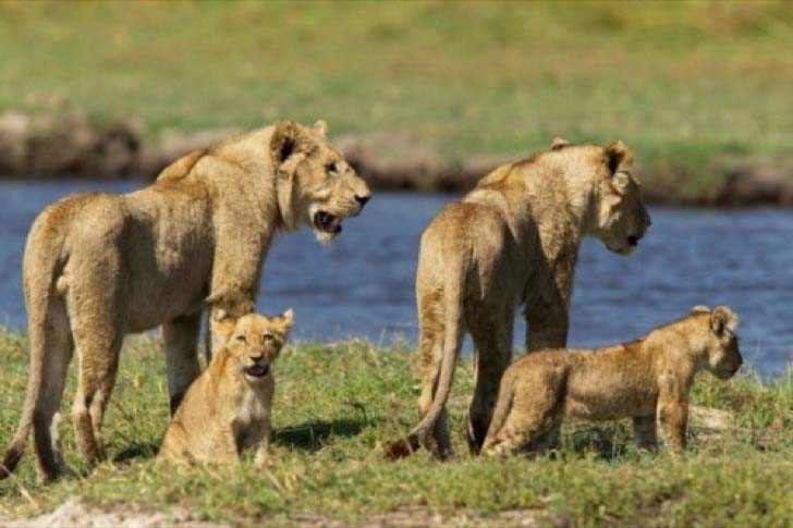 10-dramatic-photo-shows-the-lion-made-fearless-sacrifice-for-her-cubs_2