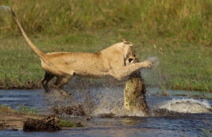 10-dramatic-photo-shows-the-lion-made-fearless-sacrifice-for-her-cubs_6