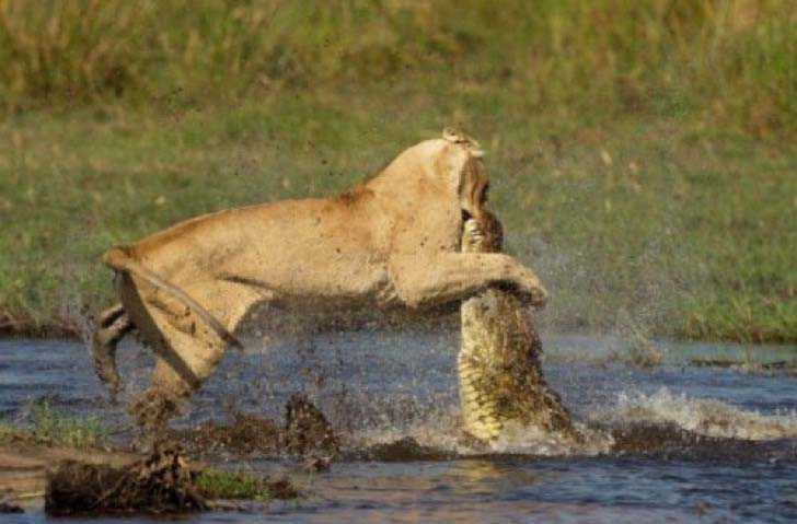 10-dramatic-photo-shows-the-lion-made-fearless-sacrifice-for-her-cubs_7