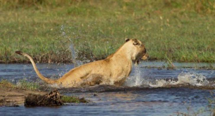 10-dramatic-photo-shows-the-lion-made-fearless-sacrifice-for-her-cubs_8