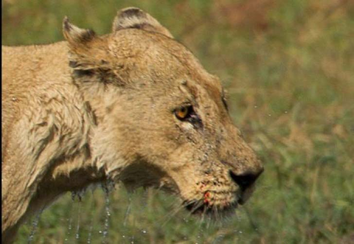 10-dramatic-photo-shows-the-lion-made-fearless-sacrifice-for-her-cubs_9