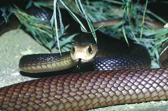 10-worlds-deadliest-snakes-ranked_4