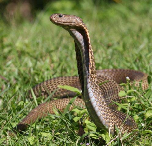 10-worlds-deadliest-snakes-ranked_7