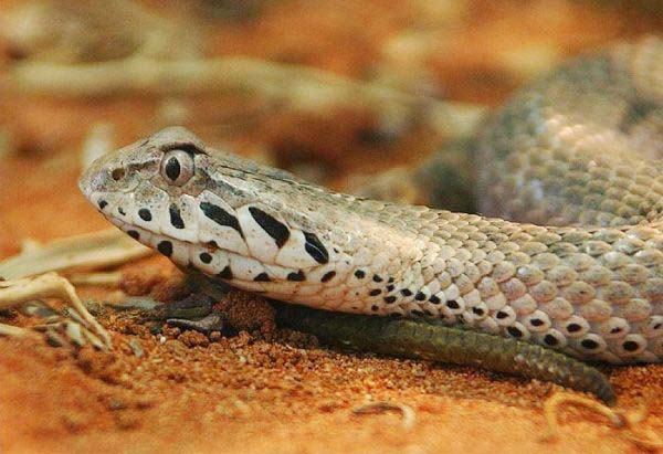 10-worlds-deadliest-snakes-ranked_9