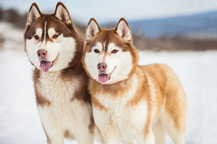 11-wolf-like-dog-breeds-know-the-difference-and-choose-wisely_1
