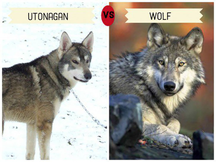 11-wolf-like-dog-breeds-know-the-difference-and-choose-wisely_10