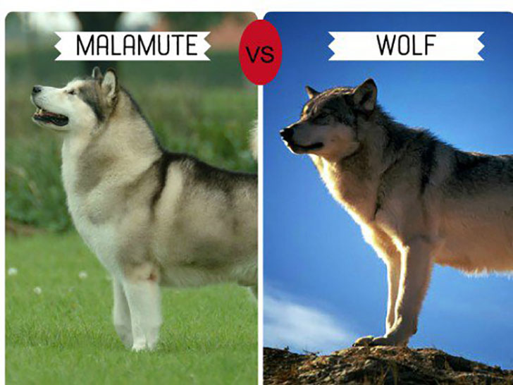 11-wolf-like-dog-breeds-know-the-difference-and-choose-wisely_2