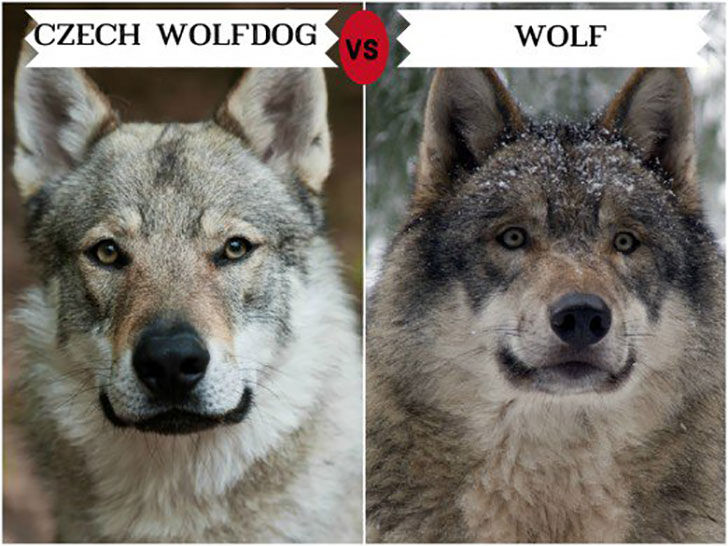 11-wolf-like-dog-breeds-know-the-difference-and-choose-wisely_4