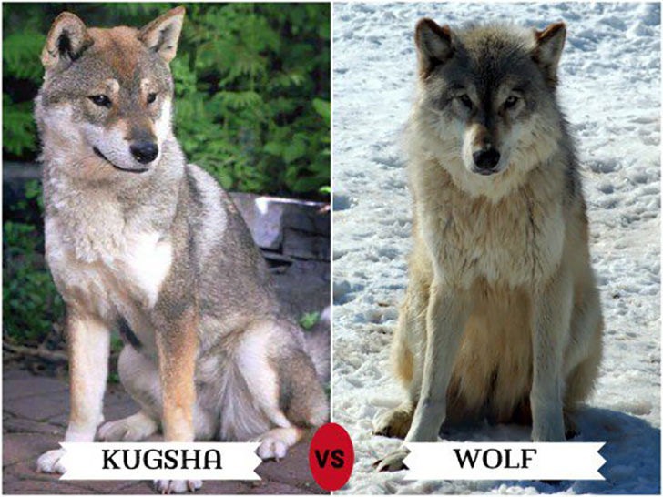 11-wolf-like-dog-breeds-know-the-difference-and-choose-wisely_5