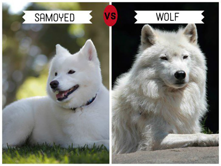 11-wolf-like-dog-breeds-know-the-difference-and-choose-wisely_6