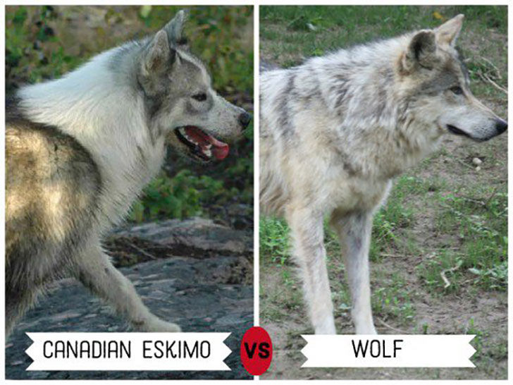 11-wolf-like-dog-breeds-know-the-difference-and-choose-wisely_8