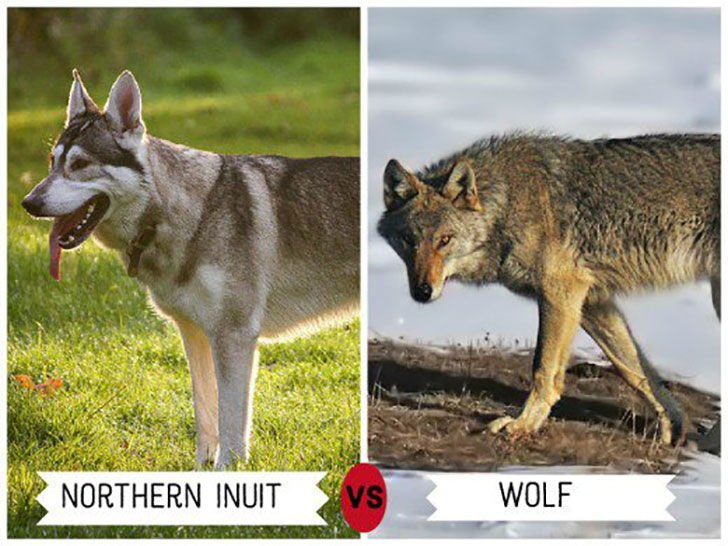 11-wolf-like-dog-breeds-know-the-difference-and-choose-wisely_9