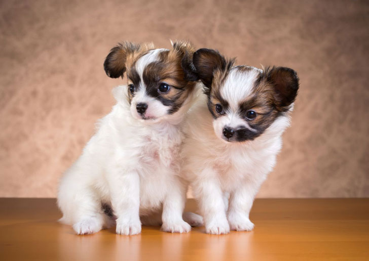 13-of-the-worlds-smallest-dog-breeds-that-are-bound-to-steal-your-heart_3
