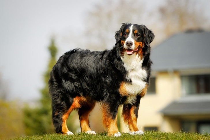 14-dog-breeds-that-rarely-bark_1