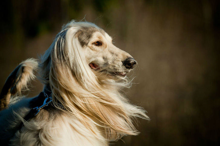 15-most-elegant-dog-breeds-as-your-noble-companion_1