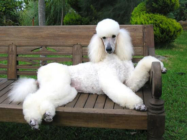 15-most-elegant-dog-breeds-as-your-noble-companion_10