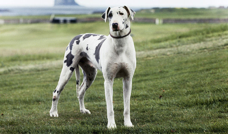 15-most-elegant-dog-breeds-as-your-noble-companion_11