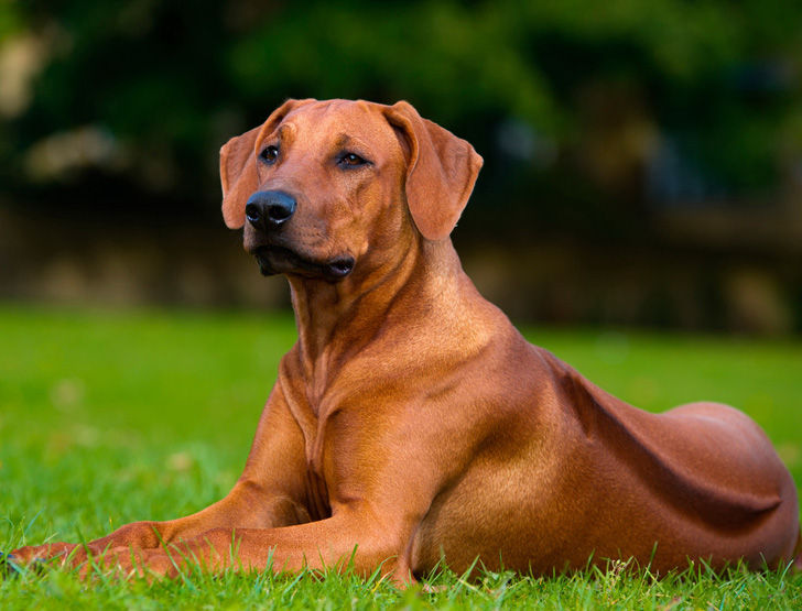 15-most-elegant-dog-breeds-as-your-noble-companion_3