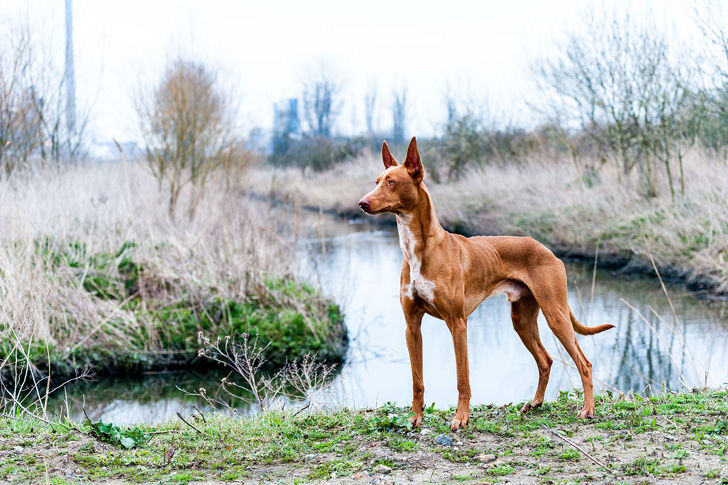 15-most-elegant-dog-breeds-as-your-noble-companion_4