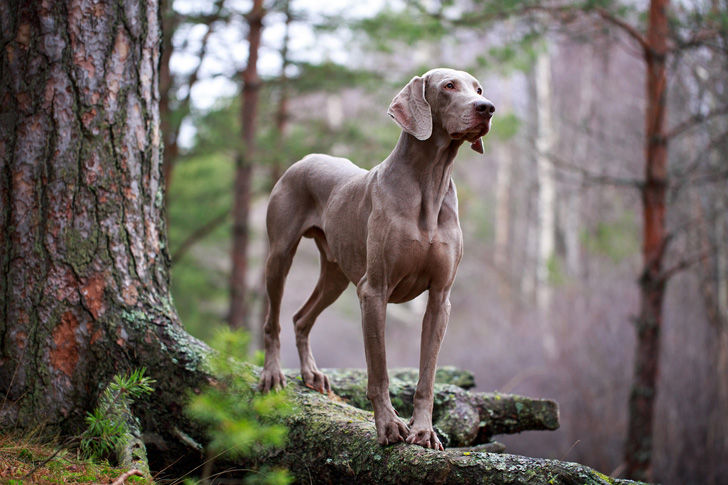 15-most-elegant-dog-breeds-as-your-noble-companion_6