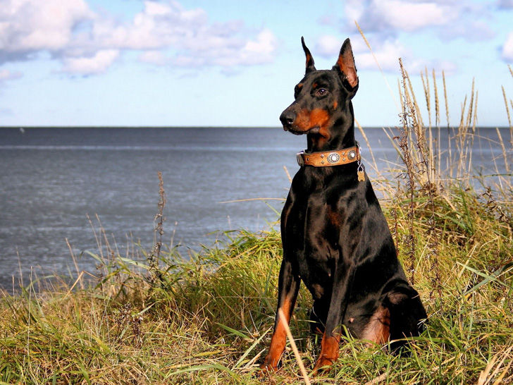 15-most-elegant-dog-breeds-as-your-noble-companion_9