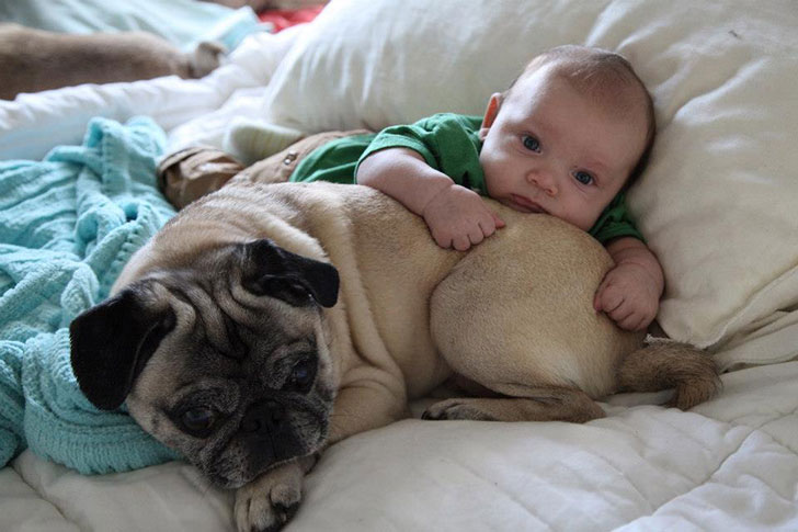 15-temperate-dog-breeds-for-home-with-babies_12