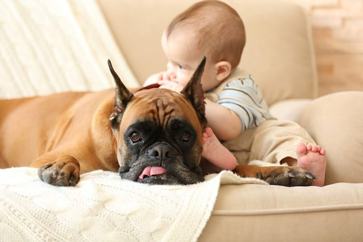 15-temperate-dog-breeds-for-home-with-babies_9