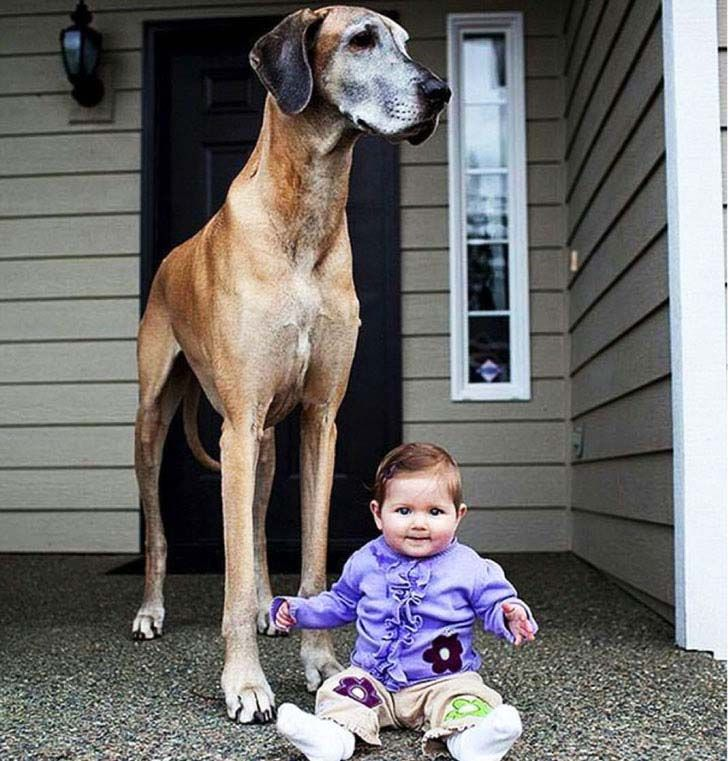 33-biggest-dogs-in-the-world_2