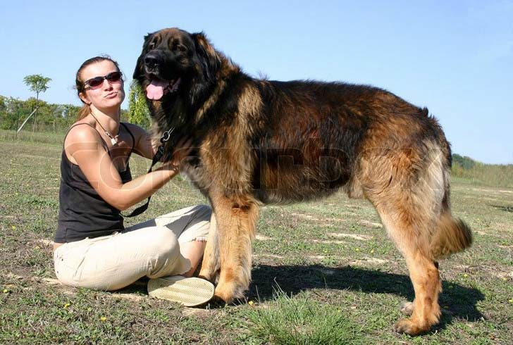 33-biggest-dogs-in-the-world_7