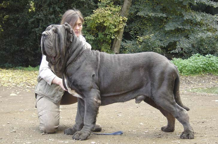 33-biggest-dogs-in-the-world_9