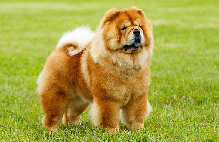 experts-agree-these-20-dog-breeds-are-not-family-friendly_10