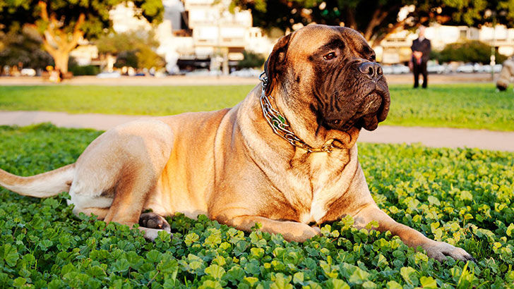 experts-agree-these-20-dog-breeds-are-not-family-friendly_2