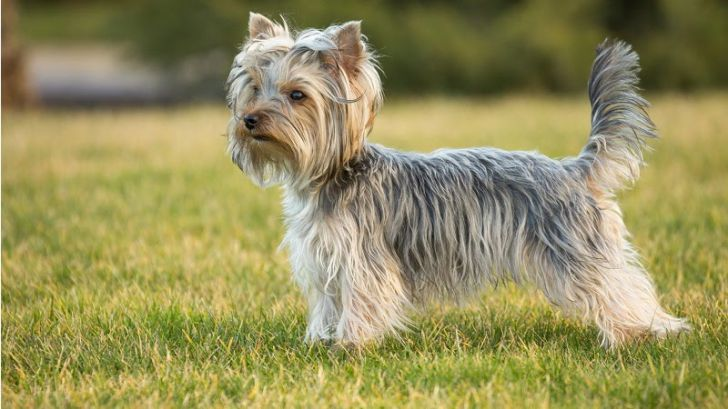 Here Are 2020's Top Dog Breeds For Seniors_5