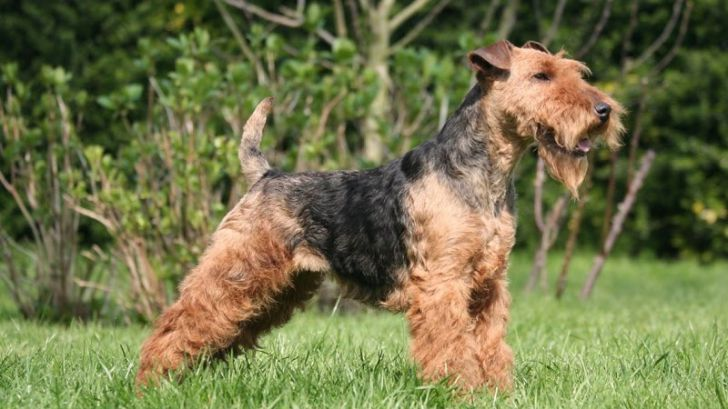 Here Are 2020's Top Dog Breeds For Seniors_6