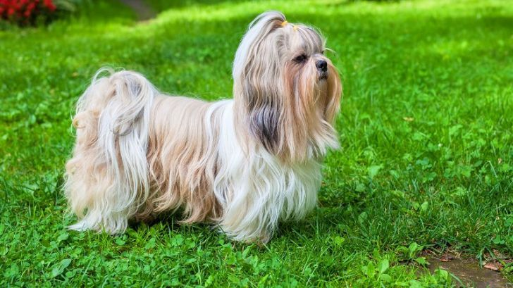 Here Are 2020's Top Dog Breeds For Seniors_9