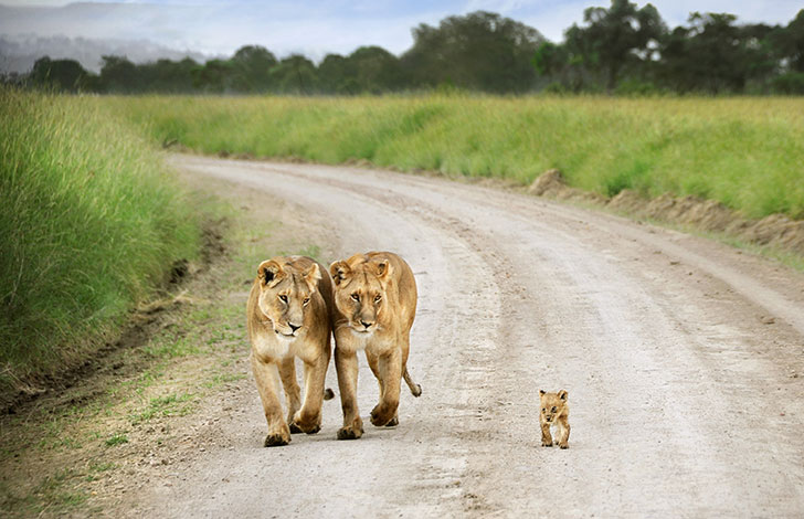 orphaned-lion-cub-was-in-want-of-a-mom-and-met-a-life-changing-companion_1
