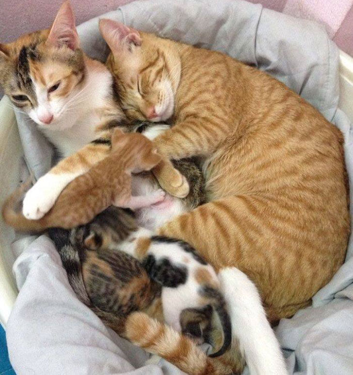 papa-cats-behaviour-shocked-everyone-on-the-internet-when-mama-cat-gave-birth-to-kittens_10