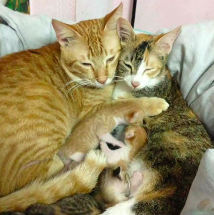papa-cats-behaviour-shocked-everyone-on-the-internet-when-mama-cat-gave-birth-to-kittens_11