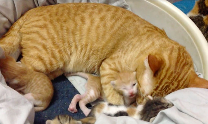 papa-cats-behaviour-shocked-everyone-on-the-internet-when-mama-cat-gave-birth-to-kittens_9