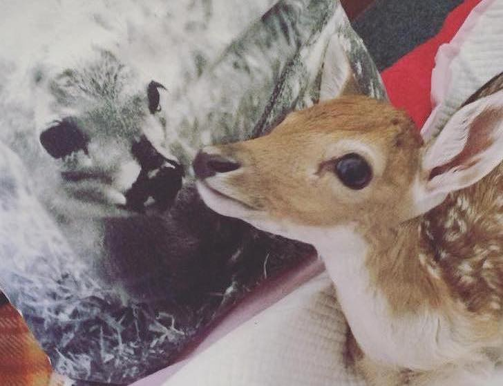 this-baby-deer-was-found-with-a-missing-leg-guess-what-happened-to-him-next_1